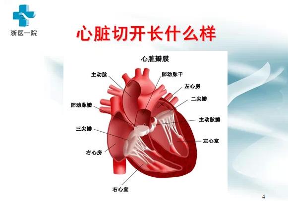 里面有一些结构和心脏瓣膜的结构在分子上相近